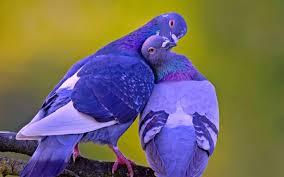 bluedoves