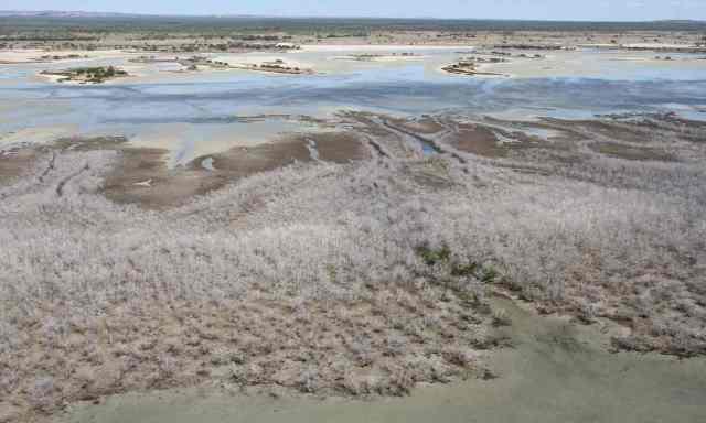 mangrovedead