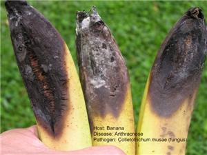 bananarot