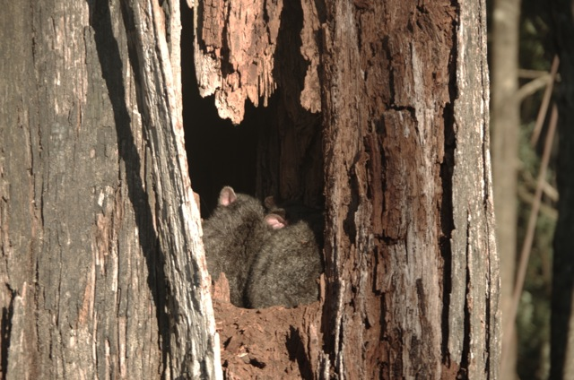 possums
